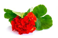 Flower red geranium isolated on white background royalty free stock images