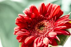 Flower of red Gerber stock photography