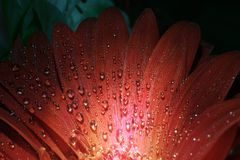 Flower of red gerbera with drops of water on petals. Close-up Stock Photography