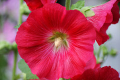 Flower of a red Hollyhock or Mallow. Flower of a red Hollyhock or Mallow in a garden Stock Photography