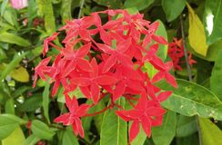 Flower. Red ixora and a green leaf Royalty Free Stock Image