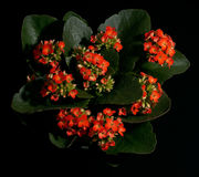 Flower Red Kalanchoe. Red Kalanchoe Stock Photography