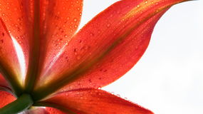 Flower. A Red Lily Refreshed With Water White Background Classy Photo Vibrant Royalty Free Stock Photo