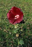 Flower of red mallow. On a blurry background. Selective focus Stock Photo
