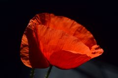 Flower, Red, Orange, Poppy Royalty Free Stock Photo