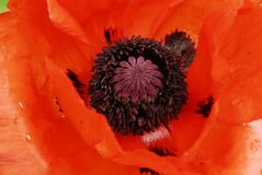 Flower, Red, Orange, Poppy Royalty Free Stock Photos