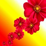 Flower, Red, Petal, Garden Cosmos Royalty Free Stock Images