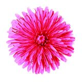 Flower red pink dandelion isolated on white background. Flower bud close up. Element of design royalty free stock photos