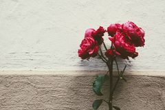 Flower, Red, Pink, Garden Roses stock photography