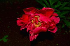 Flower, Red, Pink, Plant royalty free stock images
