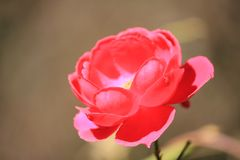 Flower, Red, Pink, Rose Family royalty free stock image