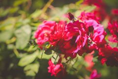Flower, Red, Pink, Rose Family royalty free stock photos