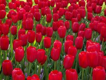 Flower, Red, Plant, Flowering Plant royalty free stock image