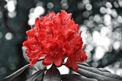 Flower, Red, Plant, Woody Plant Royalty Free Stock Photography