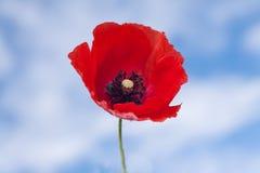 Flower of red popp Stock Images