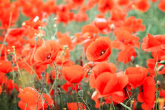 Flower red poppies Royalty Free Stock Image