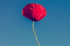 Flower of red poppy on a background of blue sky Royalty Free Stock Photo