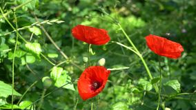Flower of red poppy with a bee stock video footage
