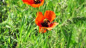 Flower of red poppy with a big bee collecting pollen stock video