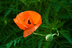 A flower of a red poppy with a bud Royalty Free Stock Photos