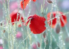Red poppy. Flower red poppy covered with water drops after rain, macro, closeup royalty free stock photos