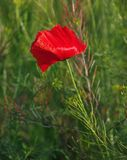 Flower Red Poppy Royalty Free Stock Photo