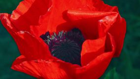 Flower of red poppy in a field of poppies. Flower of red poppy in the field among the grass. A bee collecting pollen on a red popp stock video