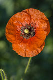 Flower of red poppy in a field of poppies. Wildflowers Stock Photography