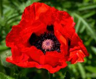 Flower Red Poppy Royalty Free Stock Images