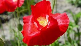 Flower of red poppy. stock video