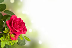 Flower, red rose Stock Photography