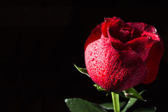 Flower of a red rose on a black background. With dewdrops Stock Photos