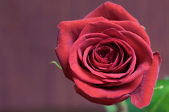 Flower of red rose Royalty Free Stock Photography
