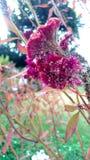 Celosia cristata royalty free stock photo