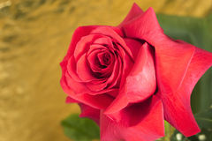 Flower red rose closeup on gold background Stock Images