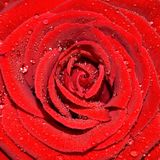 Velvety red rose petals in the water droplets. Flower of a red rose with a dense middle, thickly covered with shiny drops of water on top of the velvety petals Royalty Free Stock Photos