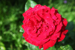 Flower red rose with drops of dew Royalty Free Stock Images