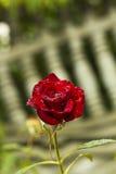 Flower red rose in drops of rain against garden fence Stock Image