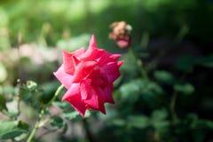 Flower red rose in garden. Stock Photos