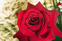 Flower red rose  on a gold background Royalty Free Stock Photo