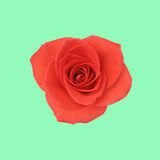 Flower red rose Royalty Free Stock Images