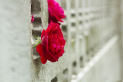 Flower red rose after rain in garden concrete fence Stock Photo