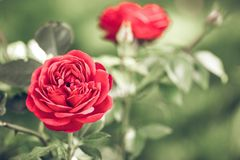 Flower, Red, Rose, Rose Family royalty free stock image