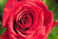 Flower red rose with water drops Royalty Free Stock Photography