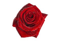 Flower of a red rose on  white background. Flower of  red rose on  white background Royalty Free Stock Image