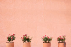 Flower red roses in clay pot on a wall background Stock Images