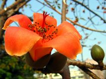 Flower of the Red Silk Cotton Tree Royalty Free Stock Images