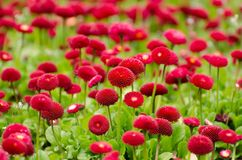 Flower, Red, Summer, Spring Royalty Free Stock Images