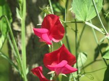 Flower red sweet peas Royalty Free Stock Photo