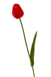 Flower of red tulip, isolated on white background Stock Photo